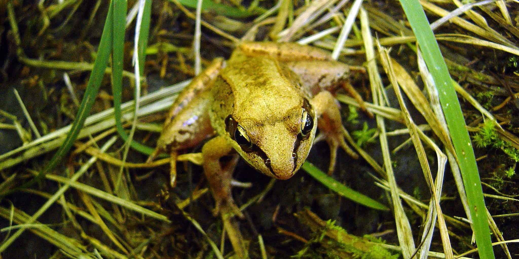 65-wood-frog.jpg