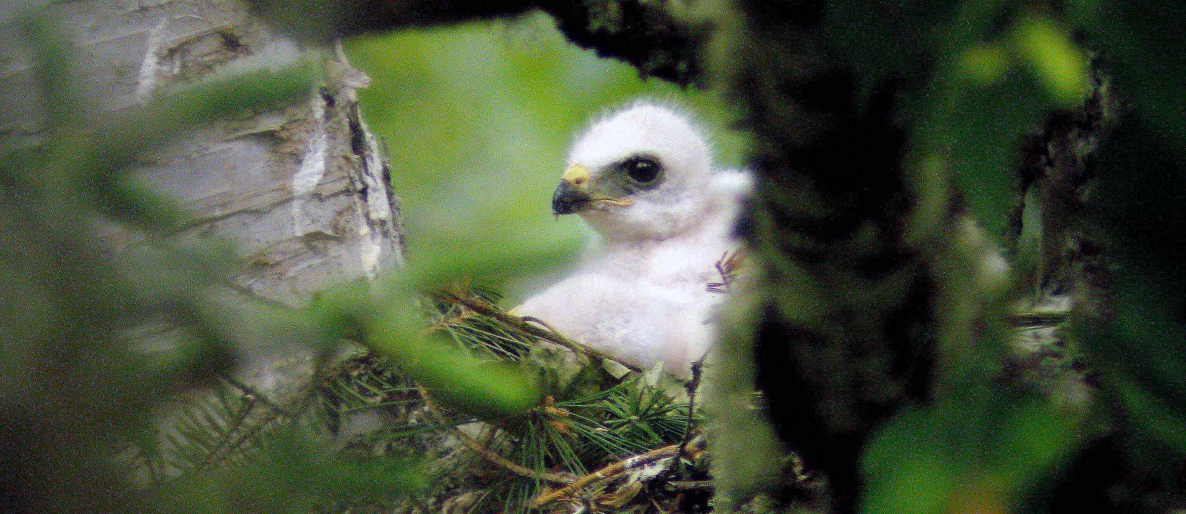 Broad-winged hawk chick