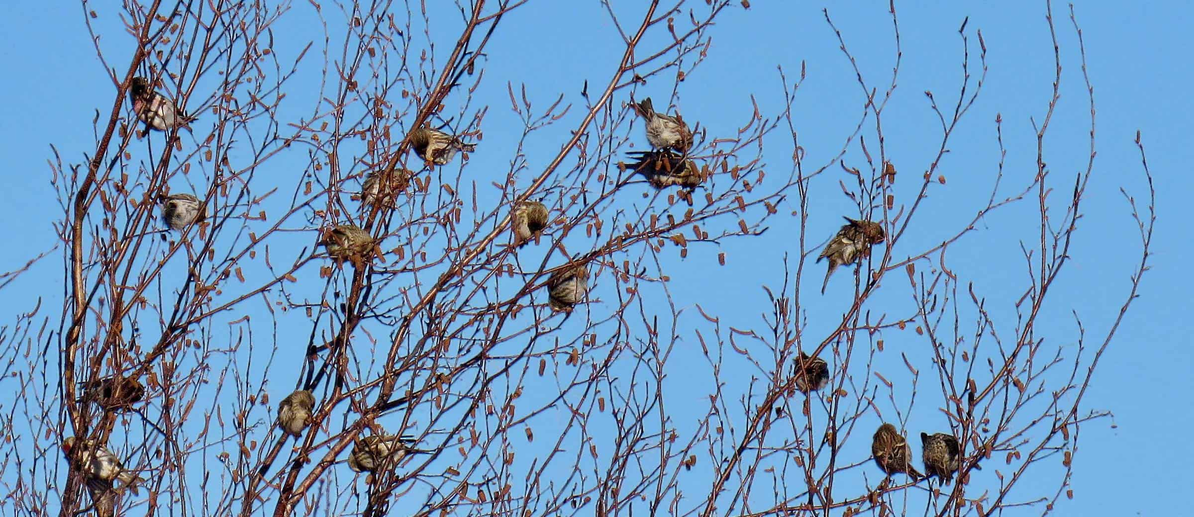 Common redpolls. Photo by Kristen Lindquist.