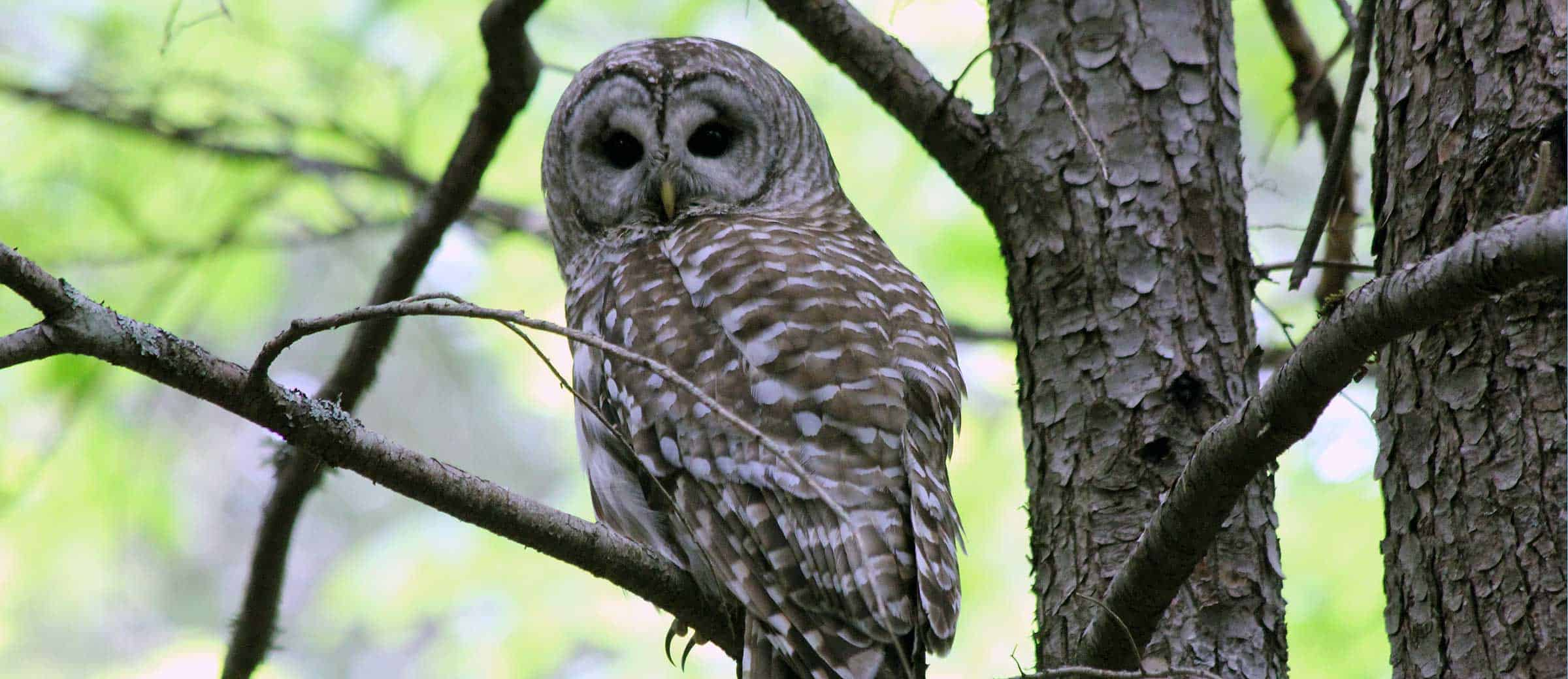 Barred Owl. Photo by Jeff Romano.