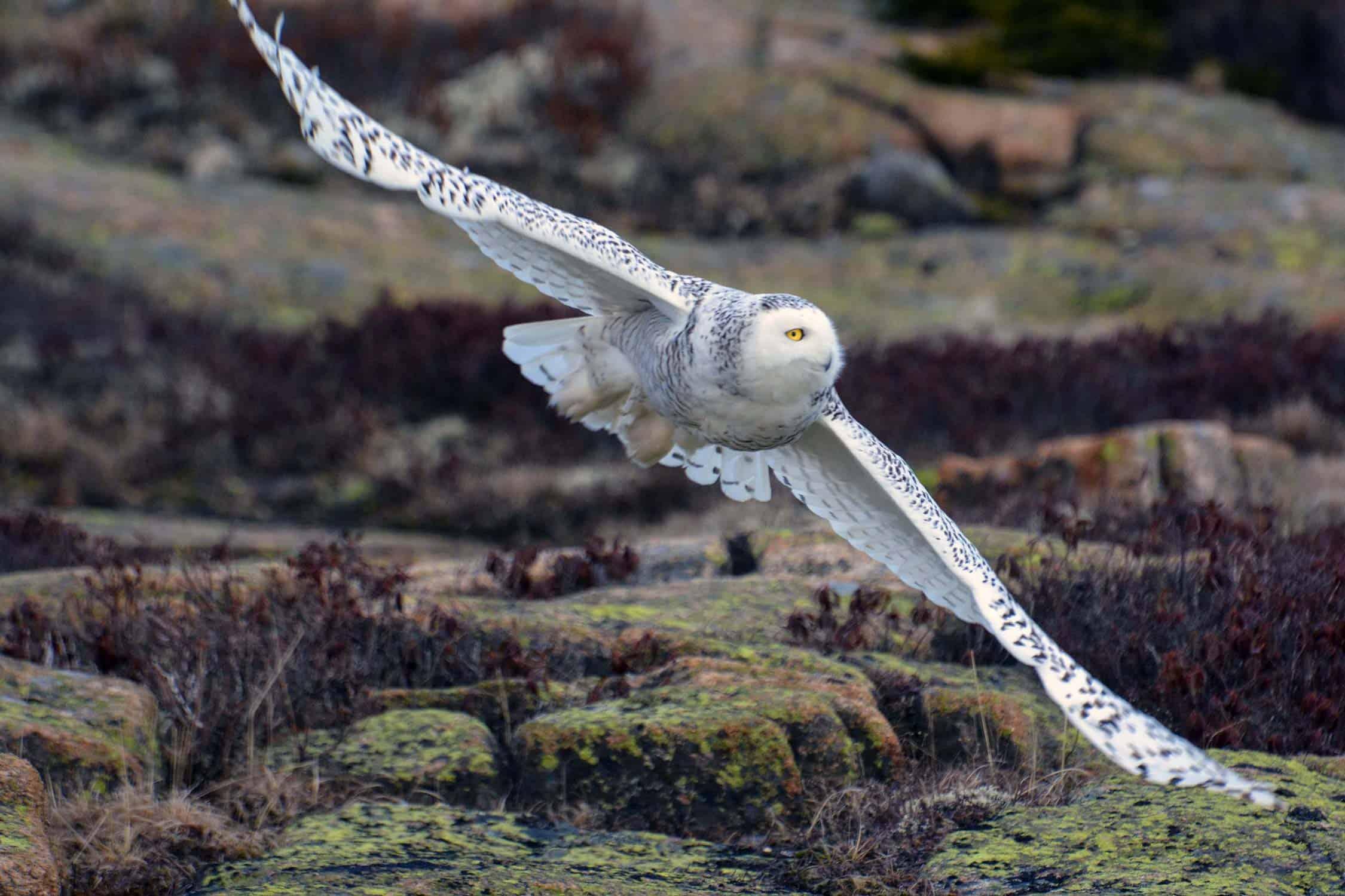 Stephen Ressel, Snowy Owl, Sargent Mountain, Mount Desert Island, 2017