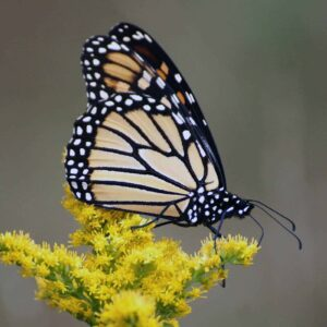 mcht-monarch-on-goldenrod-square