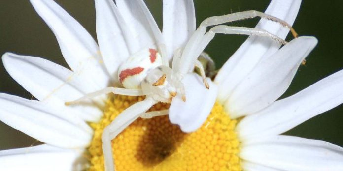 Crab tree spider on ox-eye daisy