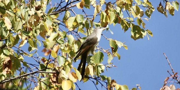 Photo of a yellow-billed cuckoo, snapped by Kirk for the Vinalhaven Sightings Report