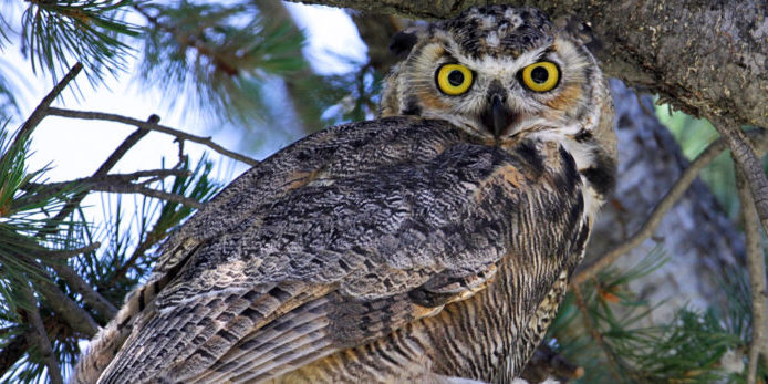 Great Horned Owl. Photo courtesy of Jean Beaufort.